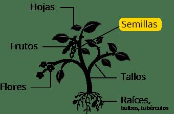 Cicer arietinum
